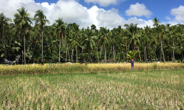 Safeguarding traditional rice varieties in the Ilocos region