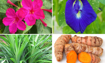 Indigenous plants: Safe alternative to artificial food color