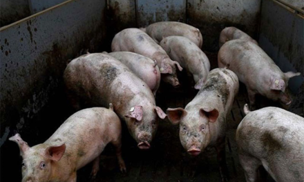 Suspension of pork imports asked until 'genuine' quarantine system that ensures tariff/duties collection is in place