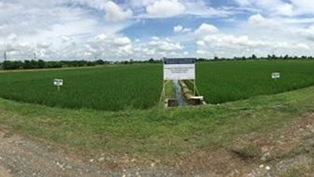 Rice Resiliency Project (RRP) establishes Hybrid Rice Farming Demo