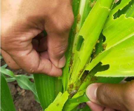 DA Calabarzon Gears Up in its Fight against Fall Armyworm Infestation