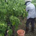 Bicolano farmer's simple and practical technology combats strong typhoons and flooding