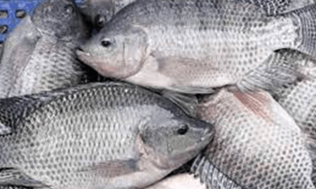 Common and affordable anti-diabetic drug found useful for diabetic tilapia