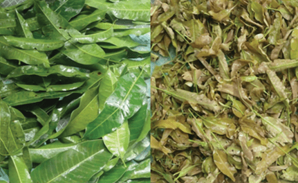 Local mango leaves found as effective source of anti-aging and skin-whitening ingredients, study says