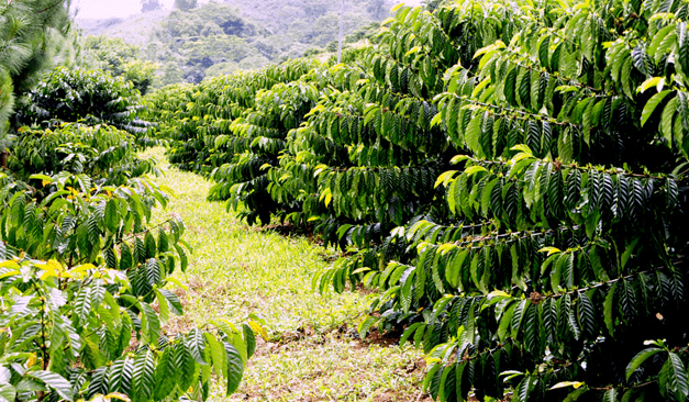 80 hectare Malaybalay city agroforestry area now high-quality Arabica coffee producer, generating jobs for IPs