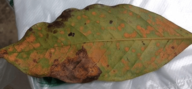 DOST-PCAARRD, UPD launch project to detect pest and disease resistance of coffee varieties